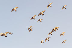 Pigeons flock. Pigeons flying in the blue sky Royalty Free Stock Image