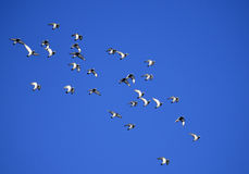 Pigeons, flock of,flying Royalty Free Stock Images