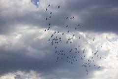 Pigeons Stock Photo