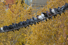 Pigeons. Flock of pigeons sitting along powerline cable with yellow treetops background Stock Photos