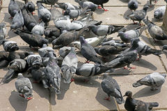 Pigeons on the floor. Causing excrement and bad smell problem royalty free stock images