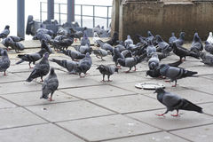 Pigeons on the floor. Causing excrement and bad smell problem stock photos
