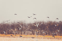Pigeons Fly After Harvesting and Plowing Fields stock photo