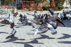 The pigeons that fly up from the earth royalty free stock photos