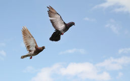 Pigeons flying. Two beautiful pigeons flying, blue sky background stock images