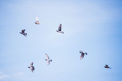 Pigeons Flying Royalty Free Stock Photo
