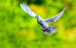 Pigeons flying in the air vivid background Royalty Free Stock Images