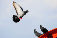 Pigeons flying Royalty Free Stock Photography