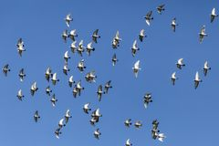Pigeons flying on a beautiful sunny day with a blue sky background royalty free stock photo