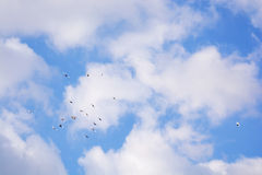 Pigeons flying, blue sky, white clouds p5 Stock Photos