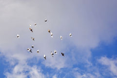 Pigeons flying, blue sky, white clouds p4 Stock Photos