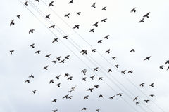 Pigeons are flying through the cloudy sky. Royalty Free Stock Photography