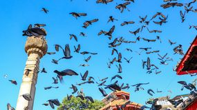 Flock of Pigeons flying royalty free stock photos