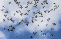 Pigeons flying in formation under cloudy sky Stock Photos