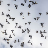 Pigeons flying in formation under cloudy sky Stock Images