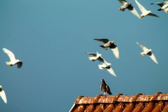 Pigeons - Flying and freedom. Venice - Sky background Stock Image