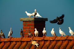 Pigeons - Flying and freedom. Venice - Red and blue background Royalty Free Stock Photo