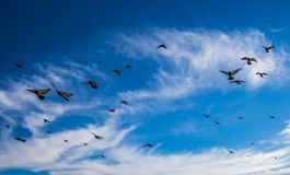 Pigeons flying in a lightly cloudy blue sky royalty free stock photography