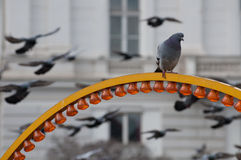 Pigeons flying and one resting on a yellow arch Royalty Free Stock Images
