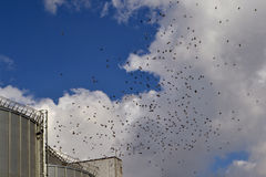 Pigeons flying over silo. Doves blue sky in beautiful autumn day. Hundreds of white doves flying through clouds royalty free stock photo