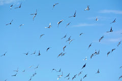 Pigeons flying in the sky Stock Photos