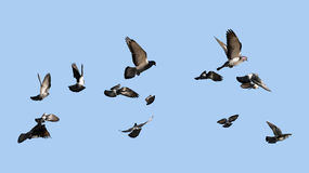 Pigeons flying to the sun Stock Photo