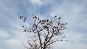 Pigeons flying to tree. Branches and fighting for a good spot stock video