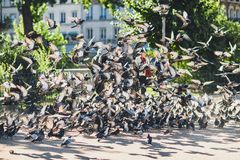 Pigeons flying up in the air royalty free stock images