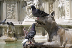Pigeons on the Fonte Gaia fountain, Siena (Italy) Stock Photography