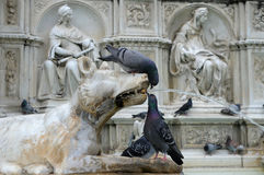 Pigeons on Fonte Gaia (Siena) Stock Images