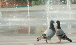Pigeons forming a heart. In front of a water source royalty free stock image
