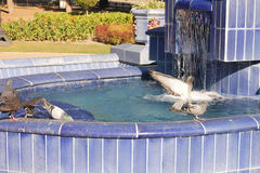 Pigeons in fountain Royalty Free Stock Photography