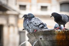 Pigeons in fountain Stock Images