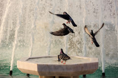 Pigeons and fountain Stock Photos