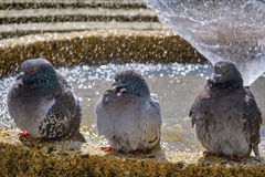 Pigeons at the Fountain Royalty Free Stock Images