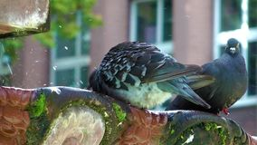 Pigeons and Fountain. The Two Pigeons and Fountain. they are drinking water from an old fountain. And it is mossy stock video