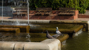 Pigeons at the fountains. Three pigeons were very thirsty and had some refreshing drink from the fountains in my city stock image