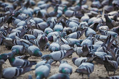 Pigeons gaily eat at town square. At this point they shit Royalty Free Stock Photography