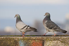 Pigeons in the game Royalty Free Stock Image