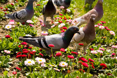 Pigeons in a garden Stock Images