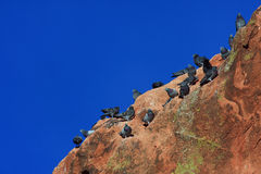 Pigeons in Garden of the Gods Royalty Free Stock Photography