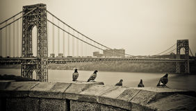 Pigeons at George Washington Bridge. A vintage photo of pigeons on a stone ledge overlooking the George Washington Bridge royalty free stock image