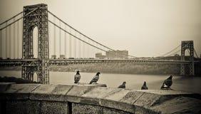 Pigeons at George Washington Bridge Royalty Free Stock Image