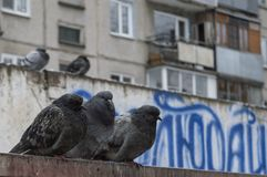 The pigeons got soaked in the rain and sweated Royalty Free Stock Photography