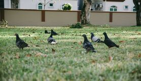 Pigeons in grass