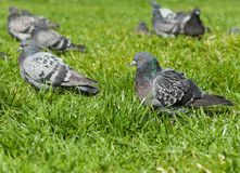 Pigeons grass Stock Photos