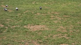 Pigeons on the Grass stock footage