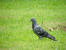 Pigeons on the grass. In park Stock Images