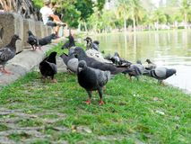 Pigeons on green grass in the city park stock photos