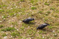 Pigeons on green grass royalty free stock images
